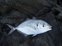 Broken Head Trevally