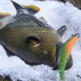 Robinsons sea bream