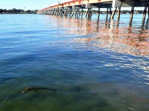 Flathead love the shallows