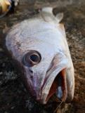 Jewfish love soft plastics