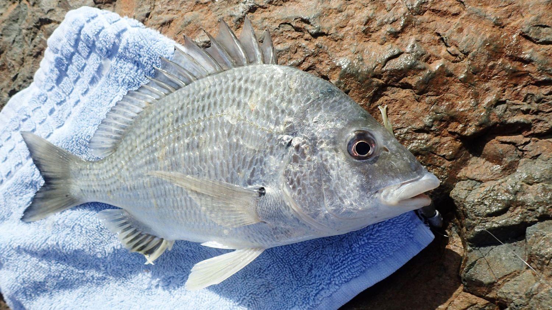 Jewfish | Landanglers Blog