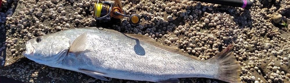 Mulloway Jewfish